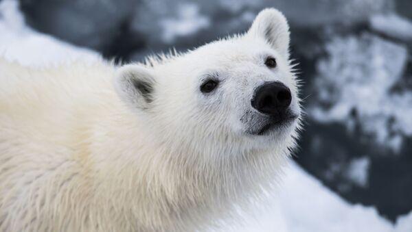 Biały niedźwiedź może przetrwać mróz poniżej minus 80 stopni. Gruba warstwa podskórnego tłuszczu i wodoodporna sierść pozwalają białym niedźwiedziom na pływanie w lodowatej wodzie i przez dłuższy czas odpoczywanie w śniegu. - Sputnik Polska