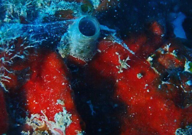 Ślimak Thylacodes vandyensis i jego sieci