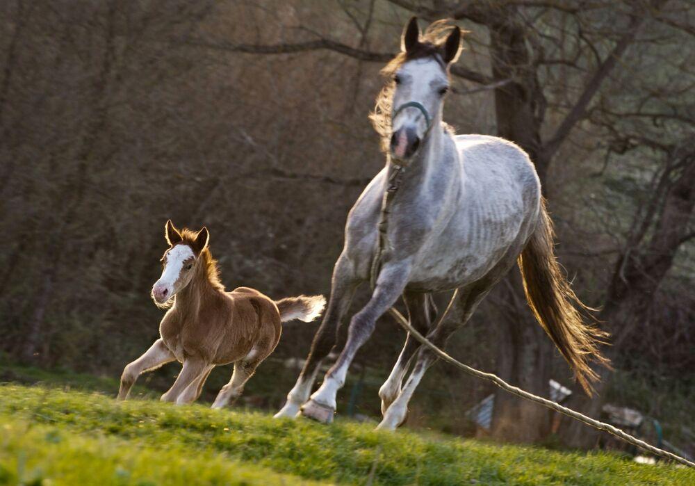 Koń ze źrebięciem skaczą po łące we wsi Klinowka na Krymie.