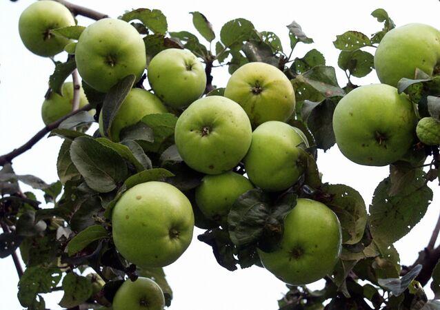 Federalna Służba Nadzoru Weterynaryjnego i Fitosanitarnego przeszkodziła w eksporcie do Rosji 800 ton polskich jabłek i gruszek z Białorusi bez wymaganych dokumentów