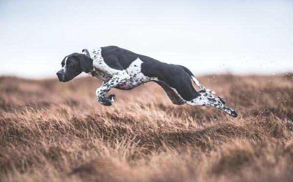 Zwycięzcą konkursu w kategorii Psy w pracy została fotograf z Wielkiej Brytanii Sarah Caldecott, autorka zdjęcia W ruchu. - Sputnik Polska