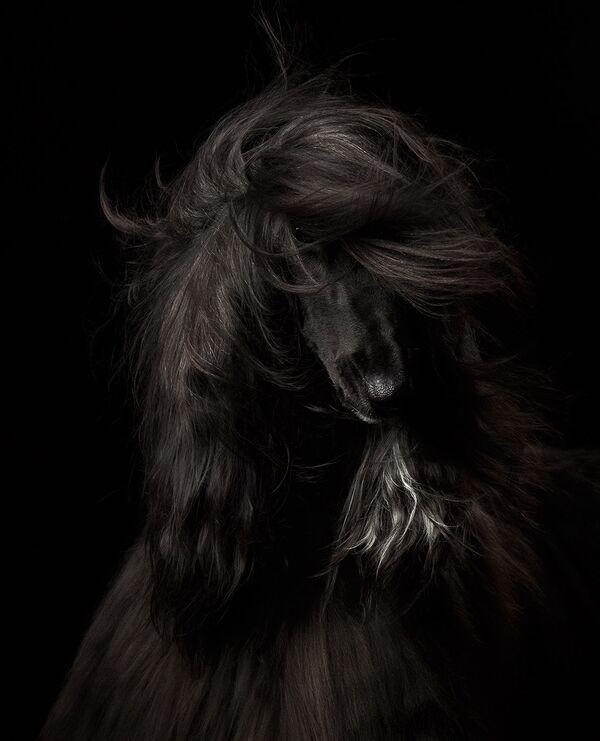 Zwycięzcą konkursu w kategorii Portret psa została fotograf z Rosji Anastasija Wietkowskaja, autorka zdjęcia Czarna piękność. - Sputnik Polska