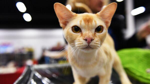 Kot rasy Burmilla na wystawie Zimowy Puchar Kot-Info w Moskwie - Sputnik Polska