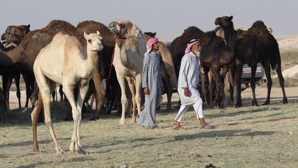 Wielbłądy na granicy Arabii Saudyjskiej i Kataru - Sputnik Polska