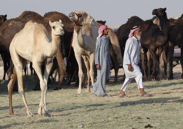 Wielbłądy na granicy Arabii Saudyjskiej i Kataru