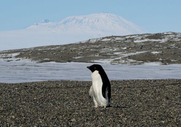 Pingwin Adeli w pobliżu stacji badawczej na Antarktydzie New Harbor - Sputnik Polska