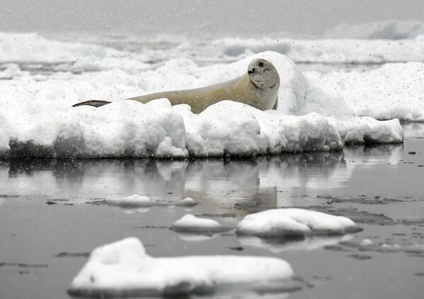 Foka Weddella na krze w Antarktyce - Sputnik Polska