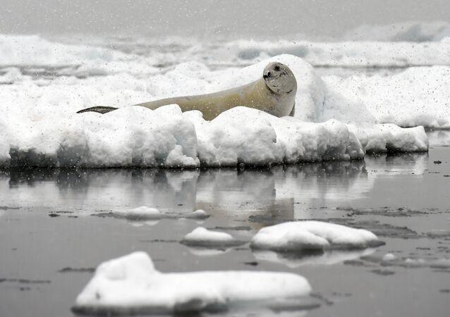 Foka Weddella na krze w Antarktyce
