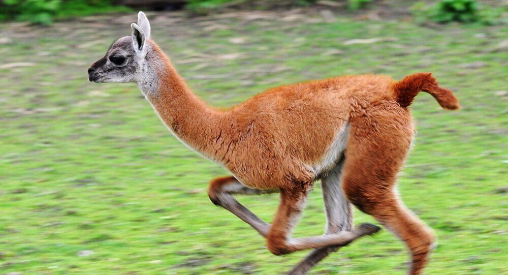Lama w Rostowskim zoo