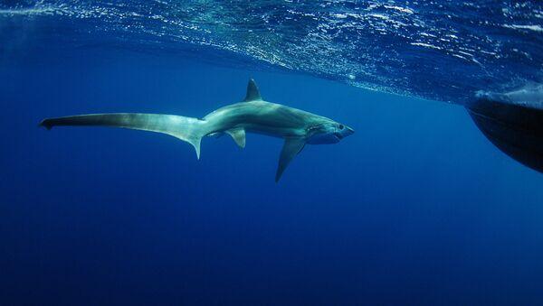 Rekin lis morski - Sputnik Polska