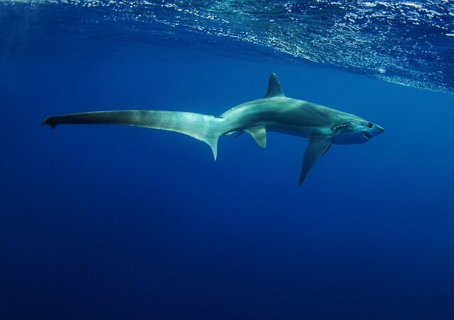 Rekin lis morski
