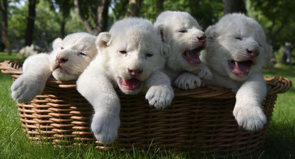 Białe lwiątka