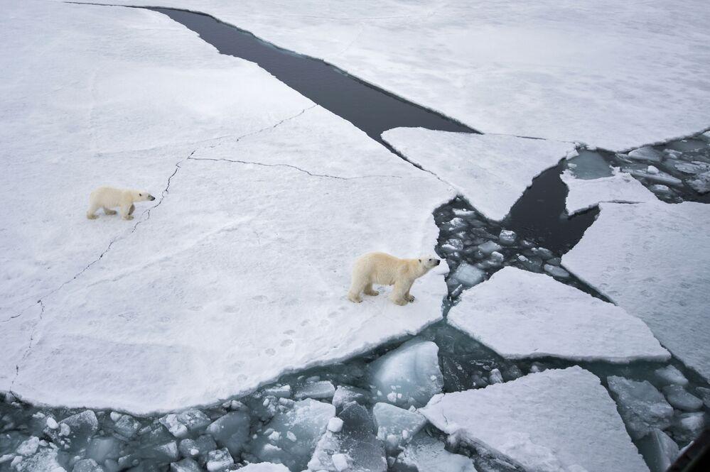 Biała niedźwiedzica z niedźwiadkiem w rejonie archipelagu Ziemia Franciszka Józefa w północno-zachodniej części Morza Barentsa.
