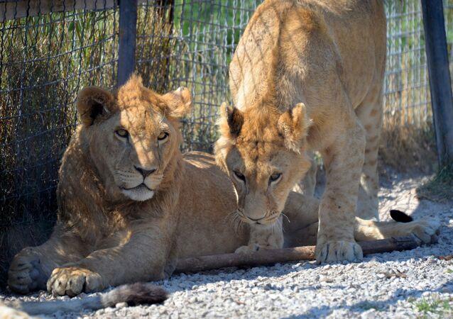 Scott Baldwin, reprezentant Walii w rugby, podczas podróży do Republiki Południowej Afryki został ugryziony przez lwa