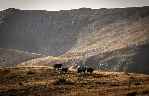 Żubry na terenie wschodniej części Kaukaskiego Rezerwatu Biosfery (Republika Karaczajo-Czerkiesji). - Sputnik Polska