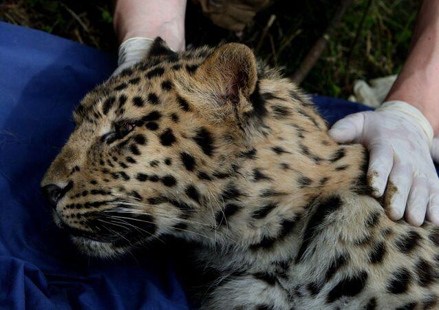 Młody leopard amurski
