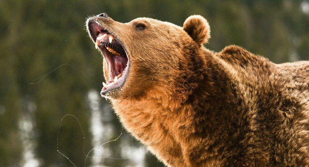 Ryczący niedźwiedź