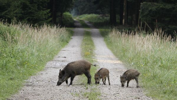 Dziki w lesie pod Monachium - Sputnik Polska
