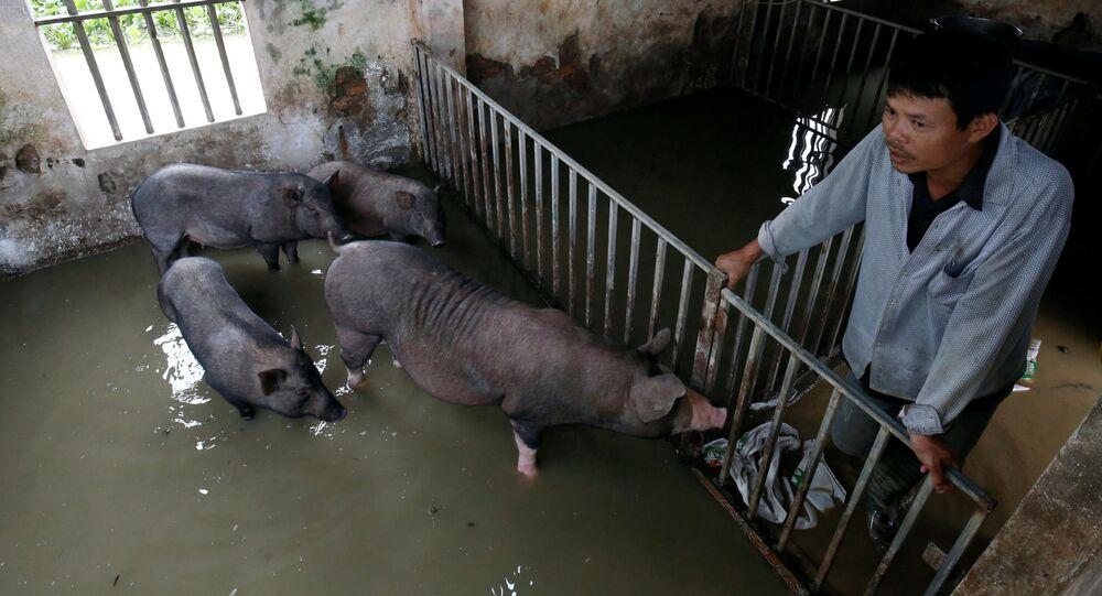 Rolnik sprawdza stan świń po sztormie tropikalnym w Hanoi, Wietnam