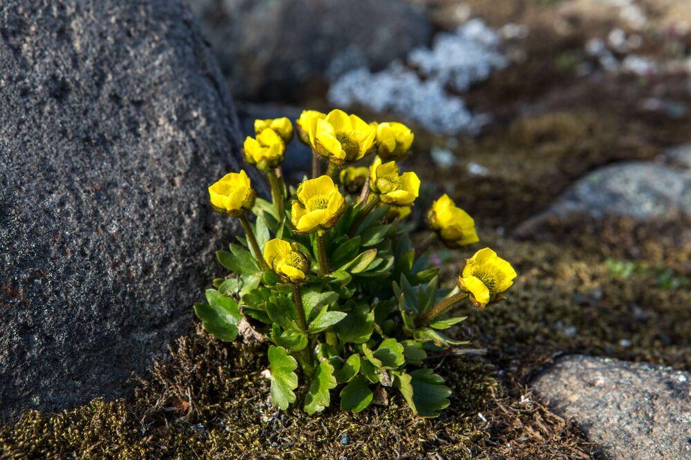 Kwiaty polarne na wyspie Hoockera archipelagu Ziemia Franciszka Józefa.