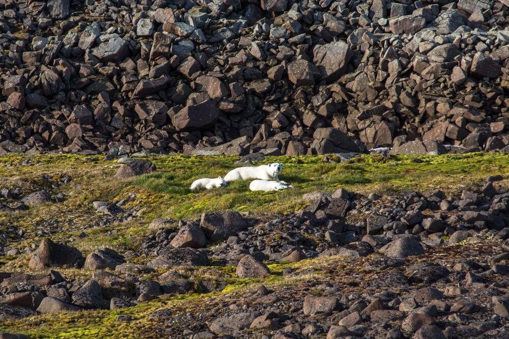 Rodzina niedźwiedzi polarnych na jednej z wysp wchodzącej w skład archipelagu Ziemia Franciszka Józefa.