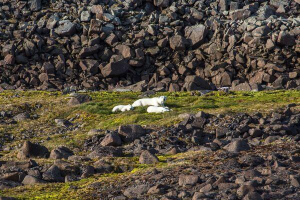 Rodzina niedźwiedzi polarnych na jednej z wysp wchodzącej w skład archipelagu Ziemia Franciszka Józefa. - Sputnik Polska
