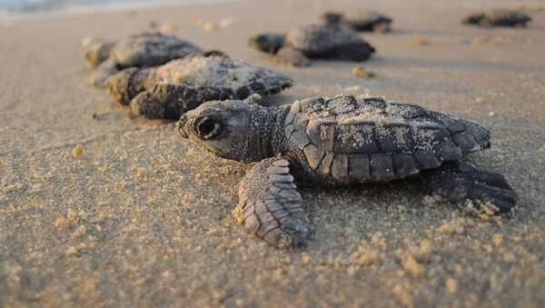 Żółwie morskie - Sputnik Polska