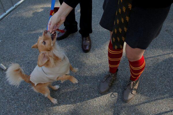Pies w kostiumie na psiej paradzie Halloween - Sputnik Polska