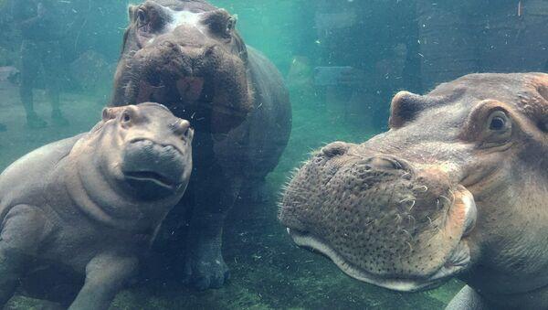 Hipopotam Fiona była głównym świadkiem romantycznych zaręczyn Hayley i Nicka z Cincinnati - Sputnik Polska