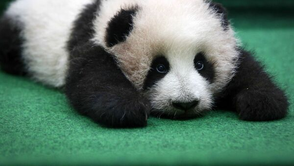 Młoda panda w zoo w Kuala Lumpur - Sputnik Polska