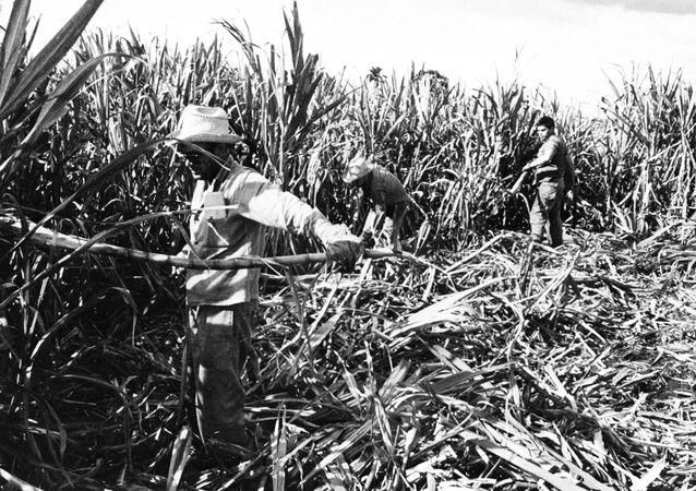 Pole trzciny cukrowej na Kubie