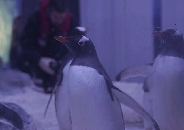 Najszybsze pingwiny na świecie