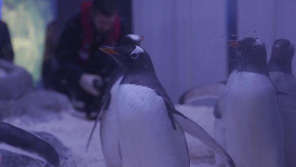 Najszybsze pingwiny na świecie - Sputnik Polska