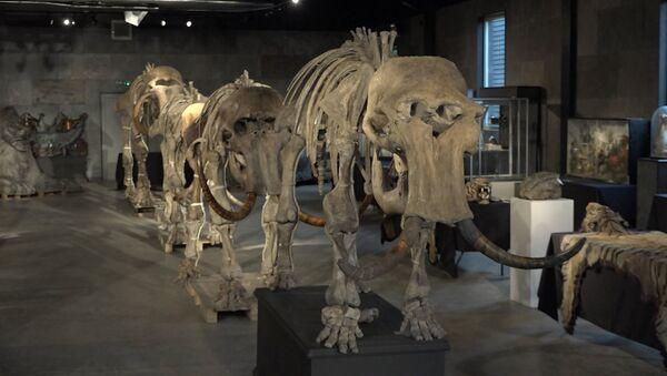 Kolekcja szkieletów prehistorycznych mamutów - Sputnik Polska