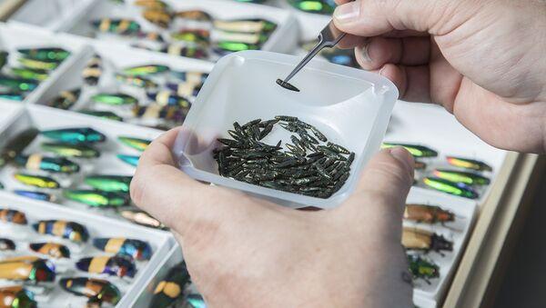 Szmaragdowe chrząszcze bogatkowate w laboratorium - Sputnik Polska