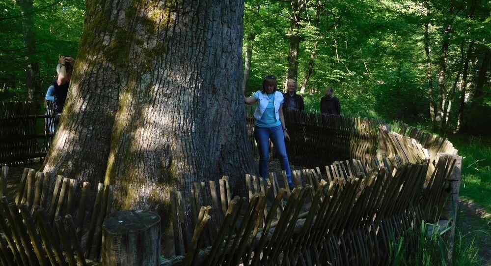 Puszcza Białowieska. Zdjęcie archiwalne