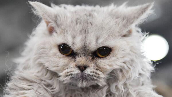Międzynarodowa wystawa kotów w Moskwie - Sputnik Polska