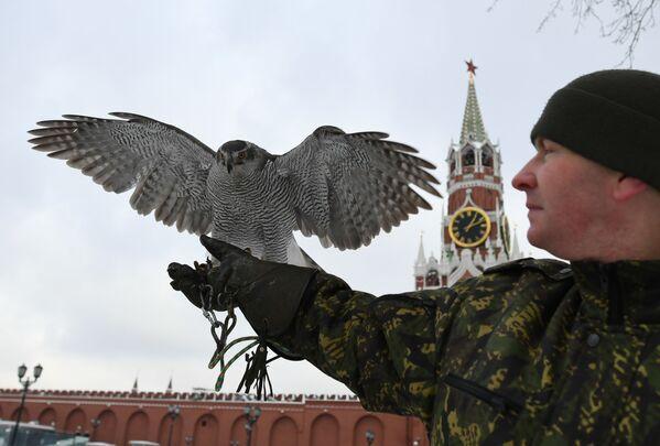 Jastrząb sokolniczej służby Moskiewskiego Kremla - Sputnik Polska