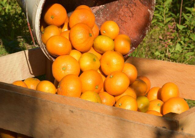 Zbiór mandarynek w Abchazji