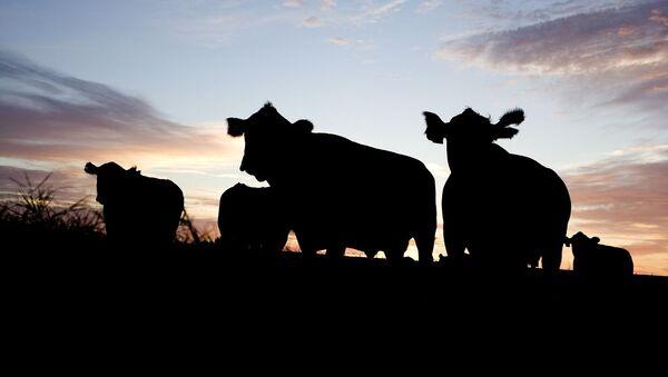 Krowy na pastwisku - Sputnik Polska