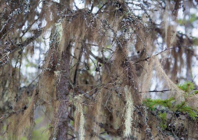 Brodaczka na gałęzi choinki w lesie w Karelii