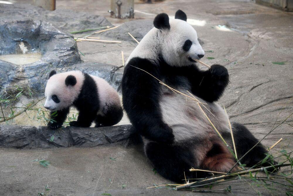 Debiutowi pandy towarzyszył niesamowity rozgłos.