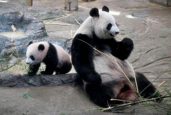 Debiutowi pandy towarzyszył niesamowity rozgłos. - Sputnik Polska