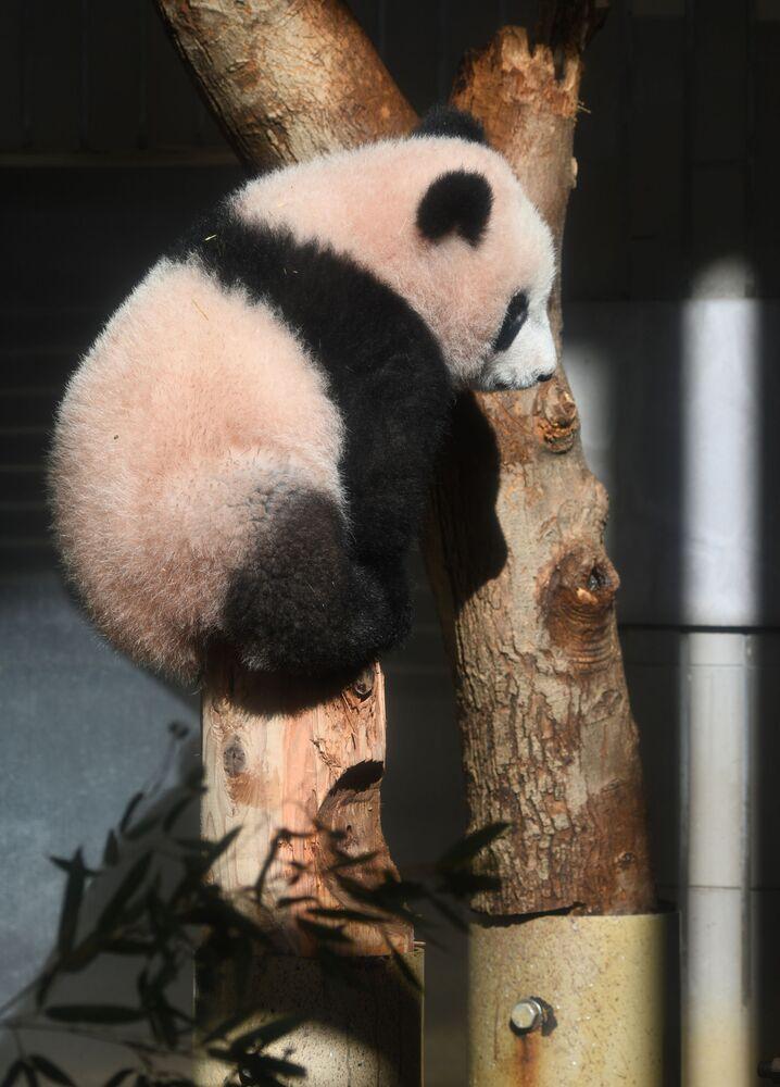 Panda waży 12,3 kg.