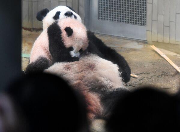 Jej mama – panda Shin Shin urodziła już młode w 2012, jednak maluch zmarł na zapalenie płuc po sześciu dniach. Wcześniej japońskie zoo przez 24 lata czekało na urodzenie się młodej pandy. - Sputnik Polska