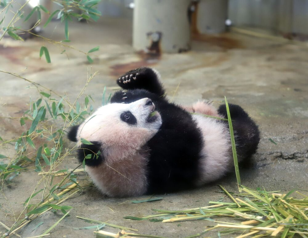 Obecnie Ziemię zamieszkuje ponad 1590 osobników pandy wielkiej, w ogrodach zoologicznych przebywa 217 z nich.