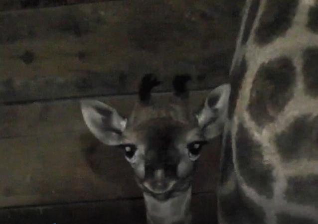 """W krymskim parku safari """"Tajgan""""  przyszła na świat żyrafa"""