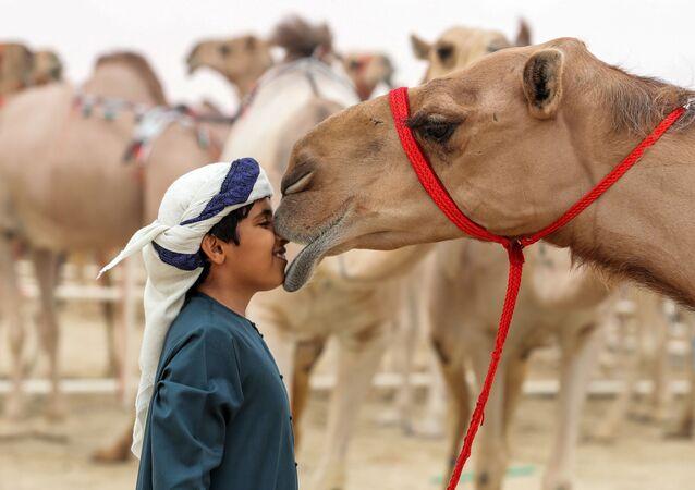Festiwal wielbłądów Al Dafra w  ZEA