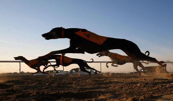 Wyścigi arabskich psów na festiwalu Al Dafra w ZEA - Sputnik Polska