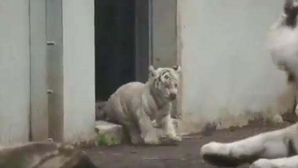 Белый тигренок напугал взрослого тигра - Sputnik Polska